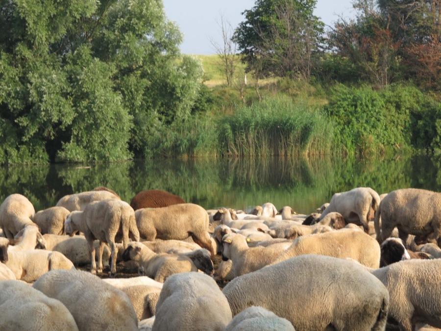 Schafe - Hirten