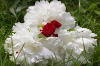 4619f-rose
