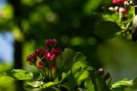 Rotdorn Blüte