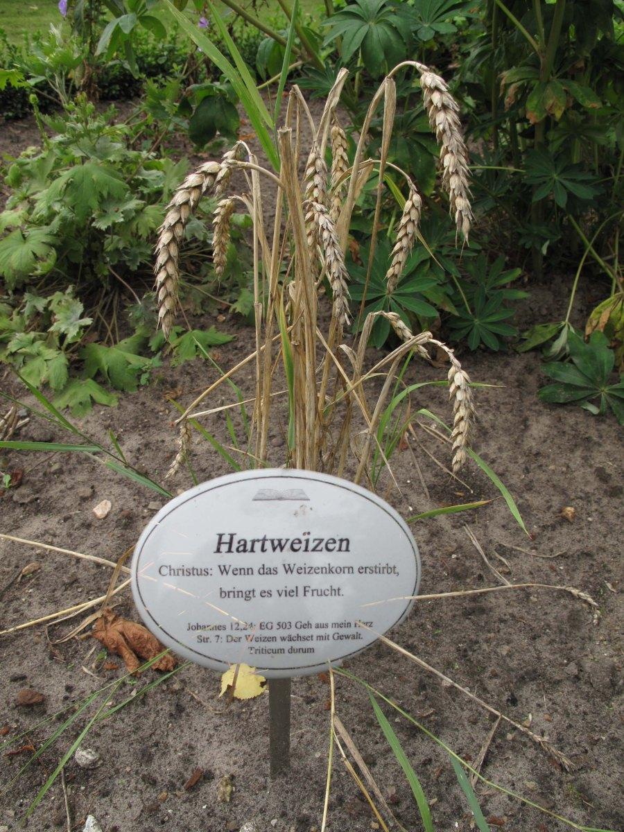 Hartweizen