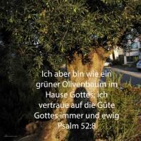 Ich aber bin wie ein grüner Olivenbaum im Hause Gottes; ich vertraue auf die Güte Gottes immer und ewig ( Psalm 52,8 )