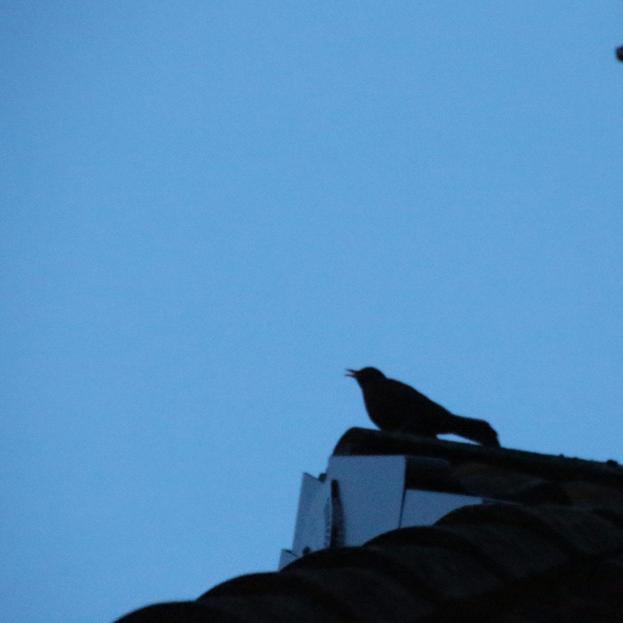 Singende Amsel in der Abenddämmerung auf der Dachzinne