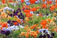 Mohnblumen und Veilchen