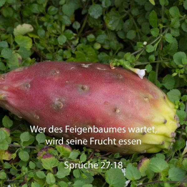 Wer des Feigenbaumes wartet, wird seine Frucht essen ( Sprüche 27,18 )