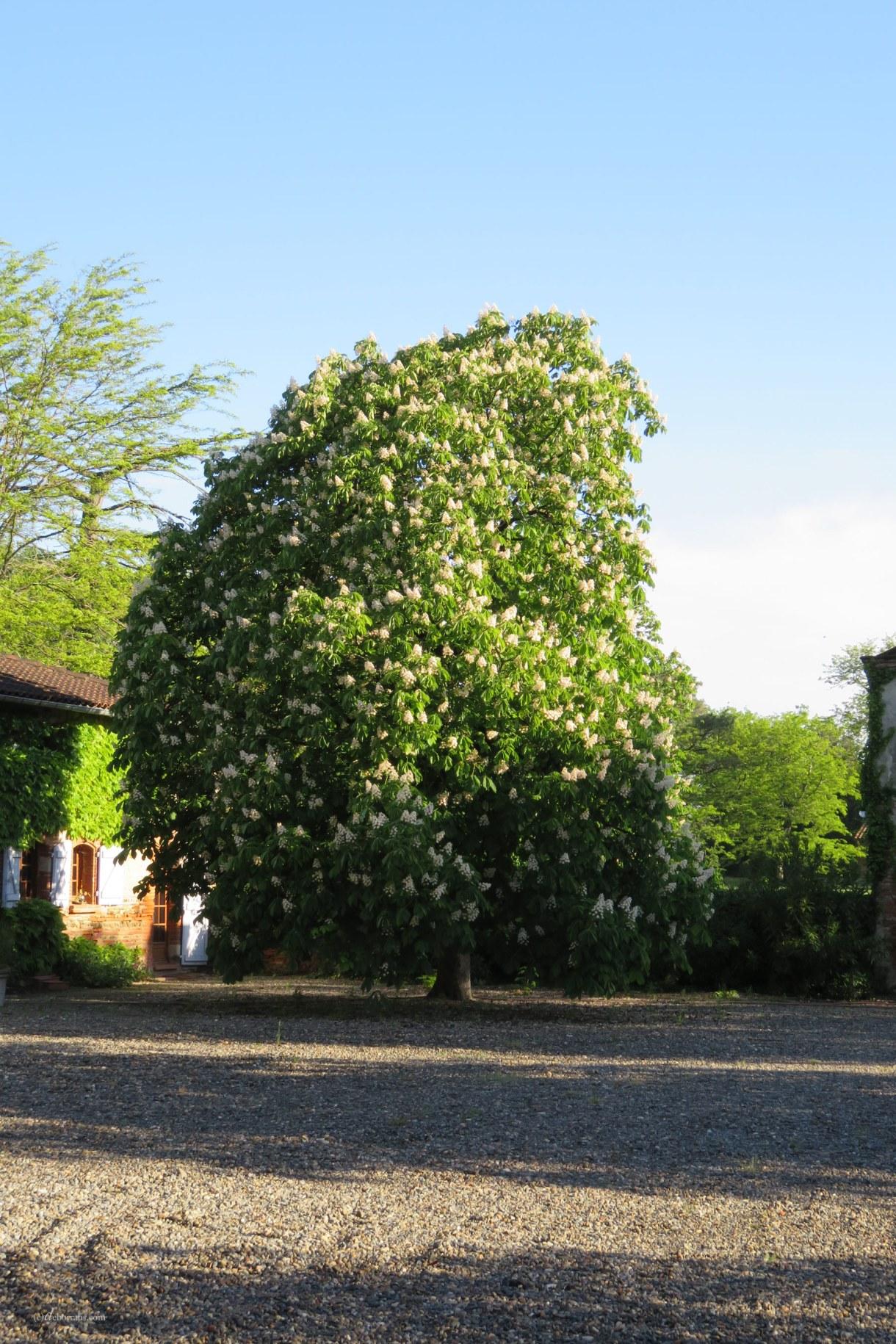 Bluehender Kastanienbaum