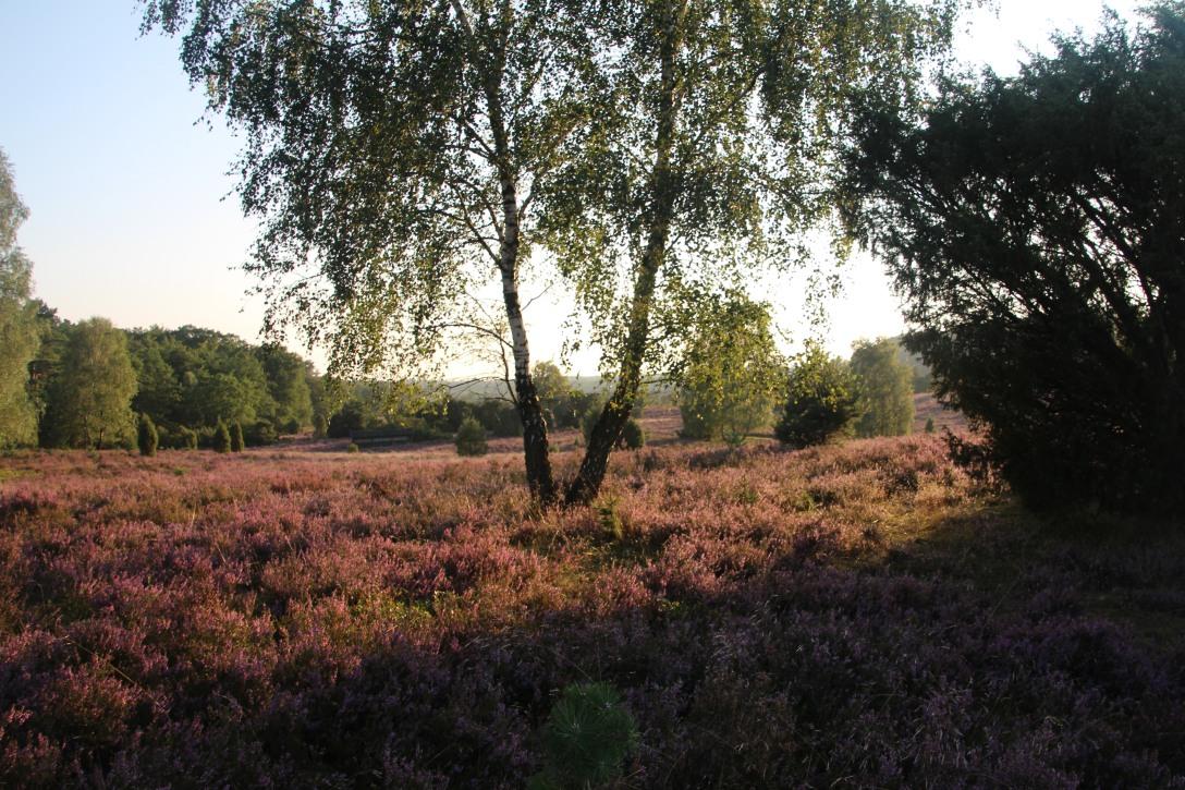 Im Abendrot gluehende Heide
